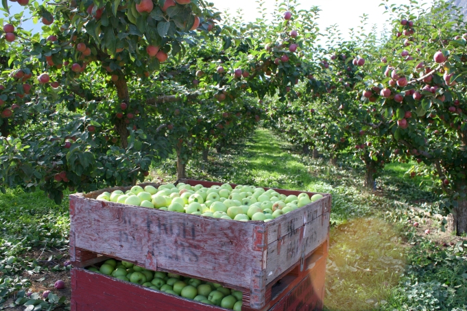 One of many fruit orchards in the Similkameen.
